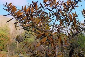 AGATHIS australis in Feburary at Caerhays