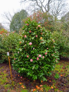 CAMELLIA 'Kick Off' in 2015 at Caerhays