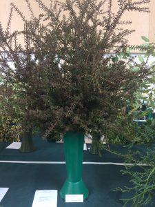 Podocarpus x 'Orangeade'