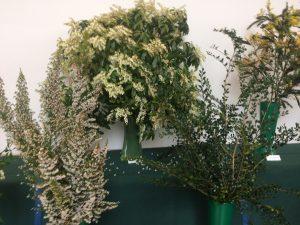 Pieris japonica 'Forrest Flame', Erica arborea & Azara microphylla