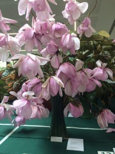 Magnolia sargentiana robusta x sprengeri 'Diva' Second Prize