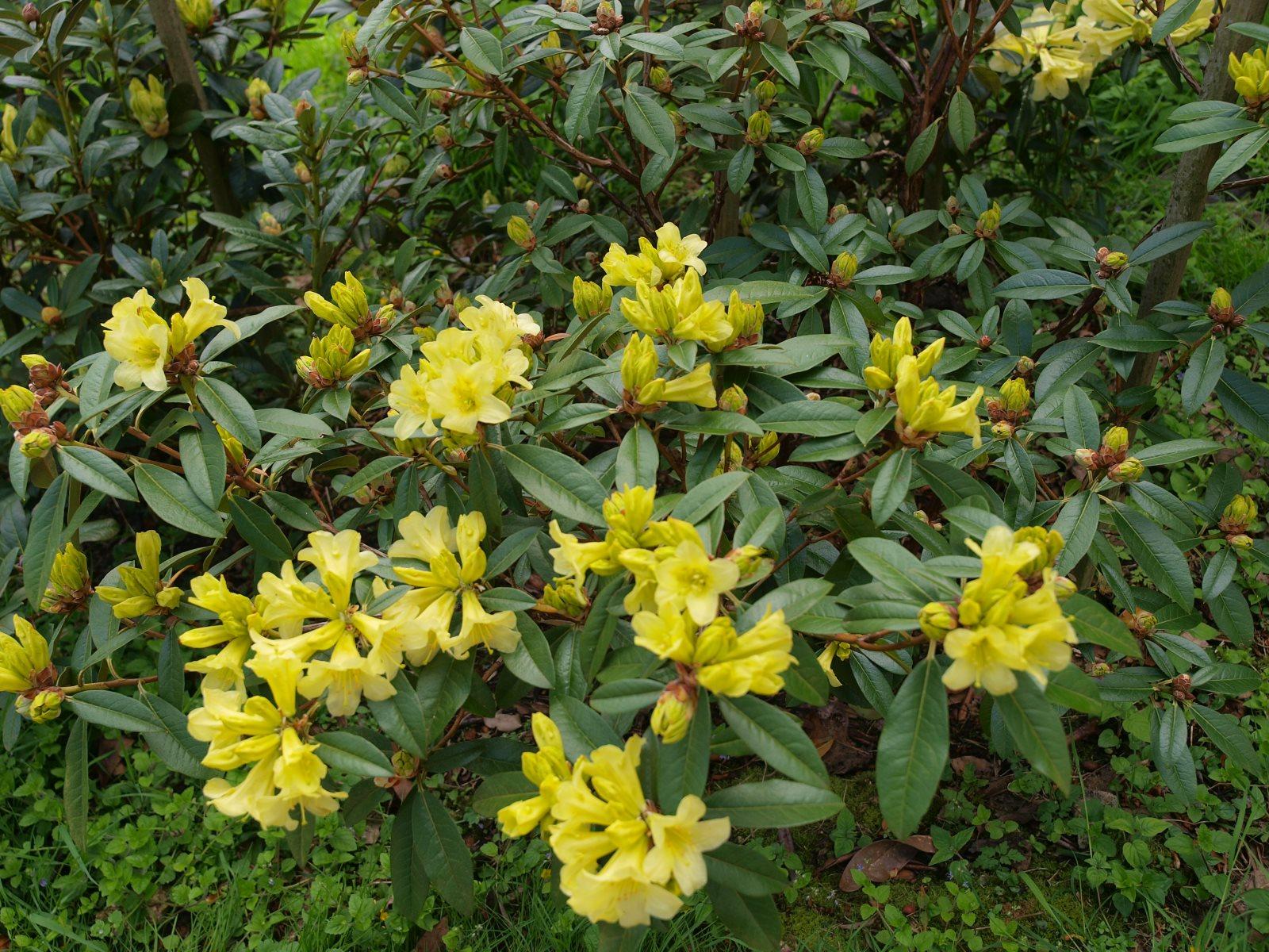 Rhododendron 'Saffron Queen'