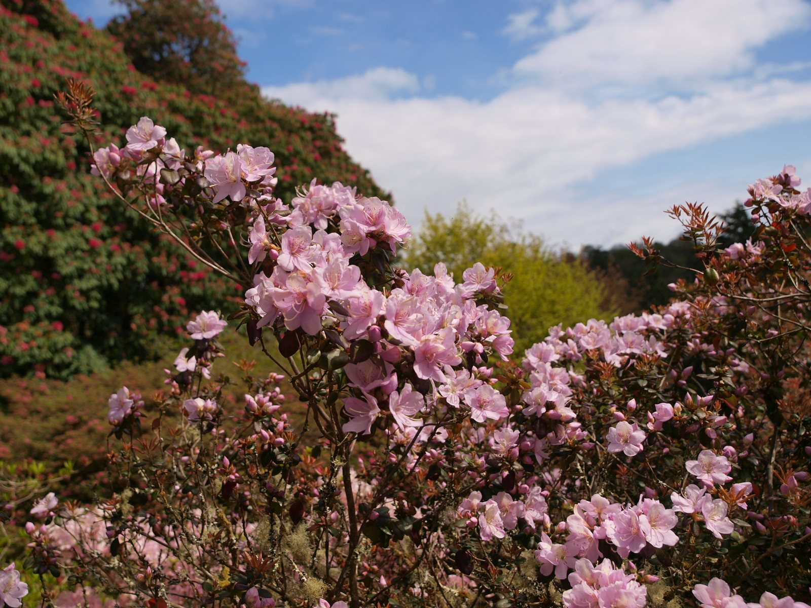 Rhododendron 'Emma Williams'