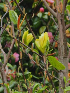 MAGNOLIA 'Green Bee'