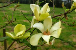MAGNOLIA 'Swedish Star' 02