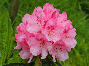 RHODODENDRON broughtonii