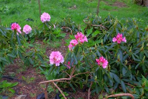 RHODODENDRON broughtonii 02