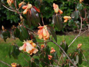 Rhododendron 'Trewithen Orange'