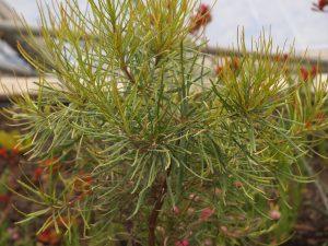 Banksia occidentalis