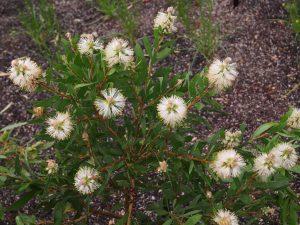Callistemon citrinus 'White Anzac'