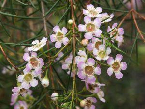 Chamelancium uncinatum
