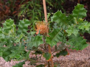 Dryandra praemorsa