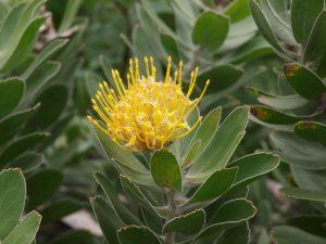 Leucospermum cuneiforme