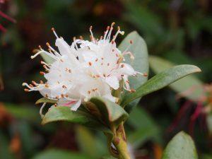 Rhododendron hanseanum