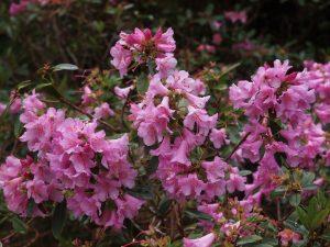 Rhododendron tethropeplum