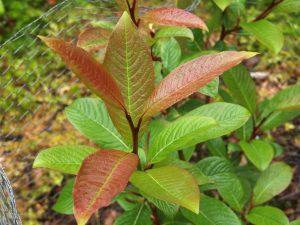 Salix moupinensis