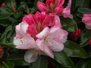 Rhododendron loderi 'Lems Monarch'