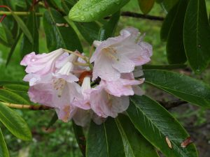 Faded Rhododendron loderi 'Pink Diamond'