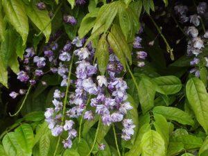 Wisteria floribunda 'Violacea Plena