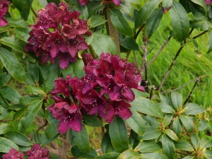 Rhododendron 'Cetemayo'