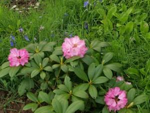 Rhododendron 'Poleris'