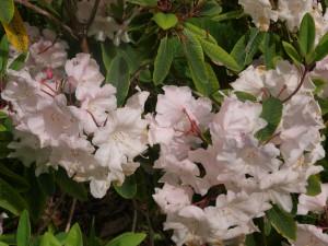 Rhododendron loderi 'Topaz'