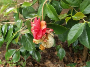 gall on Camellia Lady Clare