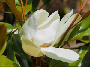 MAGNOLIA grandiflora 'Overton'
