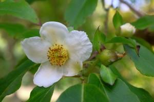 Stewartia sinensis