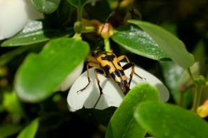 Eucryphia milliganii