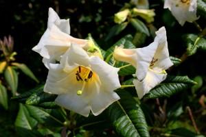 Rhododendron sinonuttallii