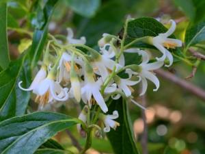 Styrax serrulatus