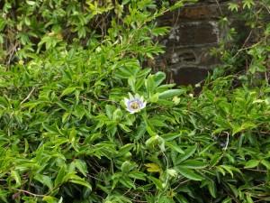 Passiflora caerulea 'Constance Elliott'