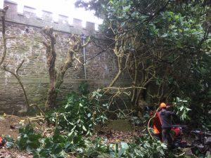 Pruning Magnolia delavayi