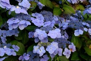 Hydrangea 'Blue Wave'