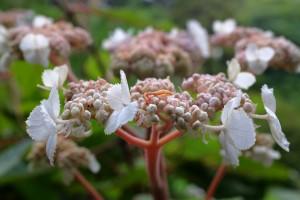 Hydrangea aspera ssp robusta