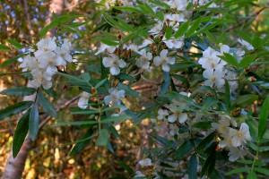 Eucryphia moorei