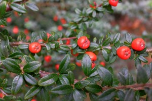 unknown cotoneaster species
