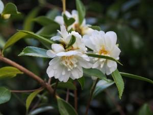 Camellia sasanqua 'Winter Snowman'