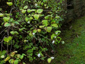 Symphoricarpos albus (Snowberry)