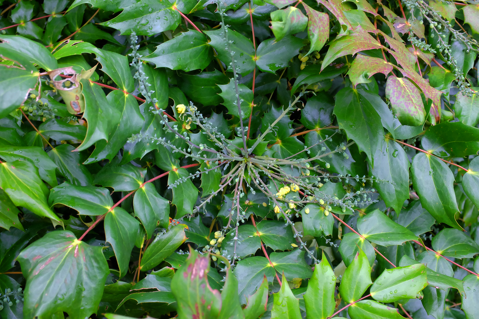 14th november the garden diary for Mahonia japonica