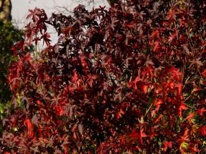 Liquidamber styraciflua 'Red Sentinel'