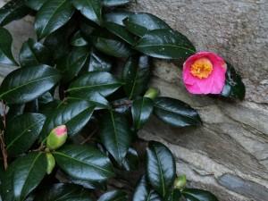 Camellia williamsii 'St Ewe'