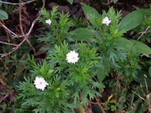 White argymanthemum