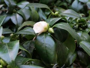 Camellia 'Sodegasuki'