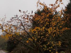 Prunus Shirotae