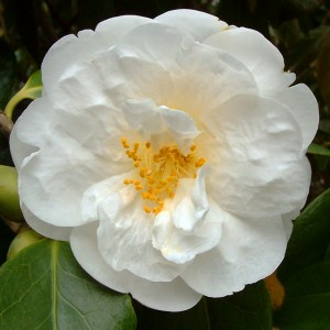 Camellia 'Gauntlettii'