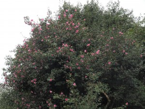 unnamed x williamsii camellia