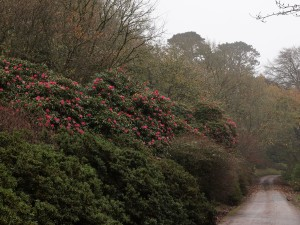 Rhododendron nobleanums