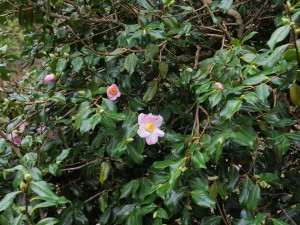 Camellia x williamsii 'J C Williams' hedge